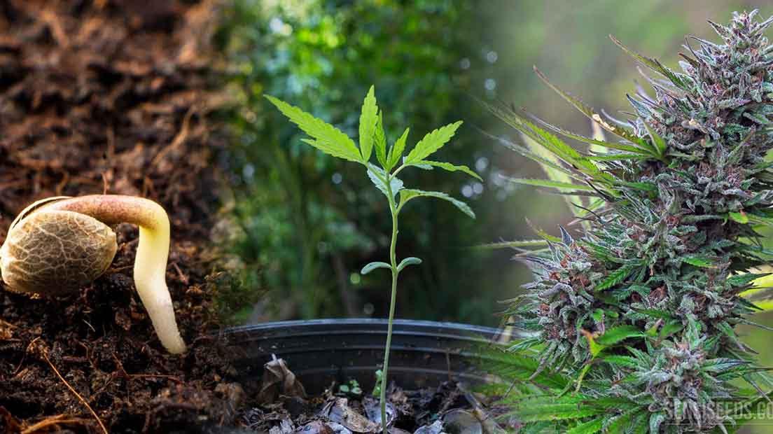 Cultivo de marihuana en rotación continua