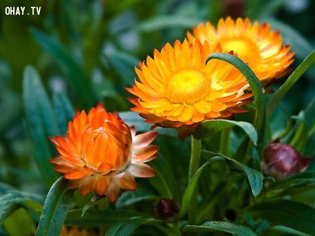Hoa Bất tử: Dù có điều gì xảy ra đi nữa, hãy tin rằng tình yêu của chúng ta là bất diệt,ngôn ngữ các loài hoa,hoa đẹp,hoa ngữ