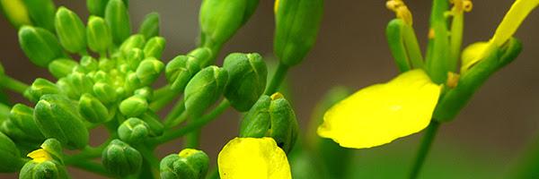 Broccoli-raab_Flickr-Sandy-Sarsfield_600px.jpg