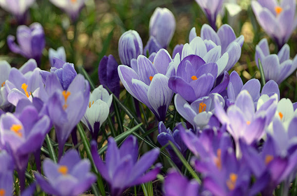Spring crocuses blooming in purple and white are shown.