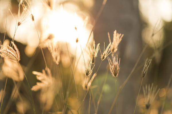 Grass flower with sunset