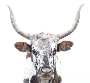 Florida Cracker cow Myakka by John Guiseppi