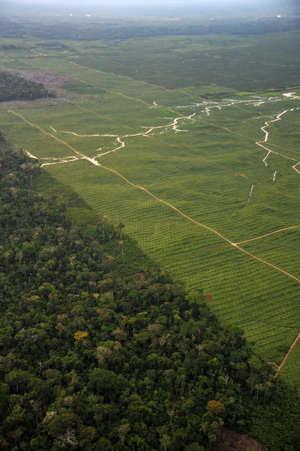 Plantation de palmiers à huile, Pérou. Les territoires ancestraux des peuples indigènes sont fréquemment utilisés pour produire des agrocarburants.