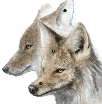 OCR-L-COYOTE-PROFILE