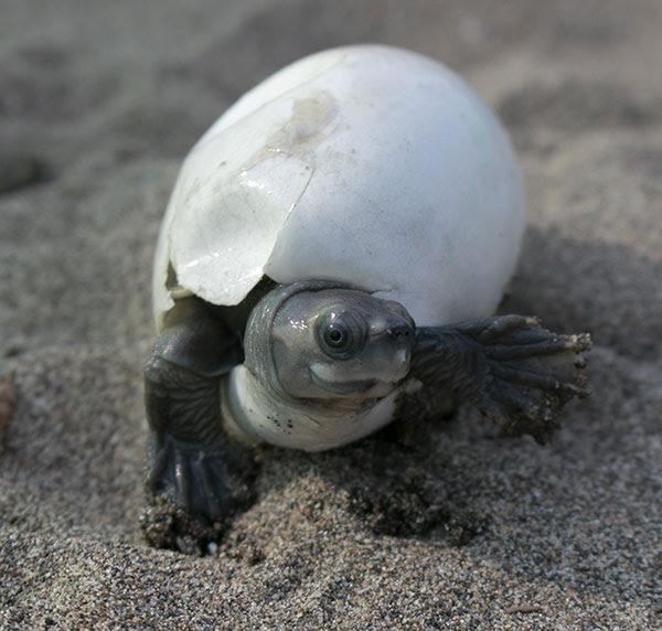 A Burmese roofed turtle hatchling.
