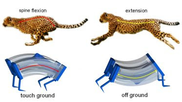 Cheetahs Inspire Faster Soft Robots