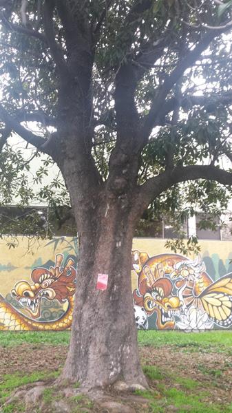 2-Magnolia_Grandiflora_tree.jpg
