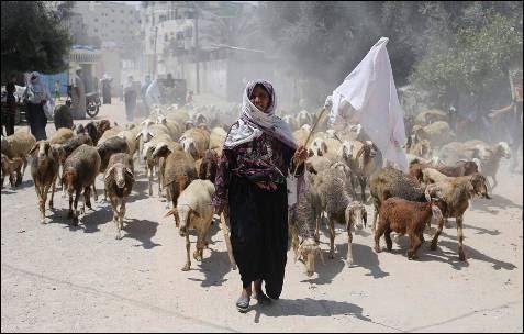 Un pastor palestino sostiene un paño blanco mientras huye de su casa con su rebaño después de la ofensiva terrestre israelí en Rafah.