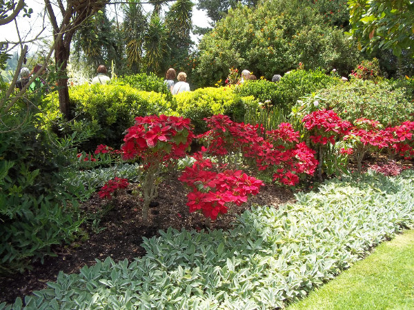 poinsettia in landscape
