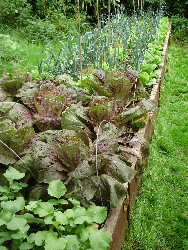 Leeks interplanted with lettuce. In the foreground are Oriental radishes & Chinese cabbage Scarlette