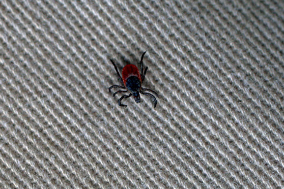 Bug, insect, tick, cloth, fabric
