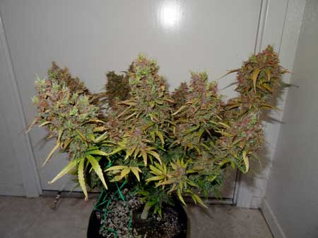Blue AutoMazar plant just before harvest
