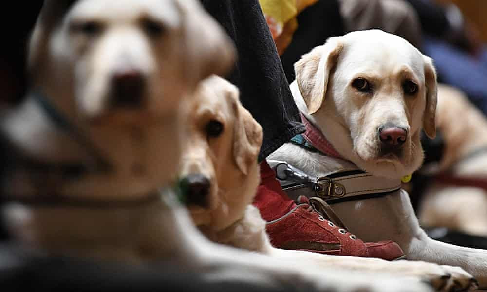 How guide dogs are faring in the pandemic
