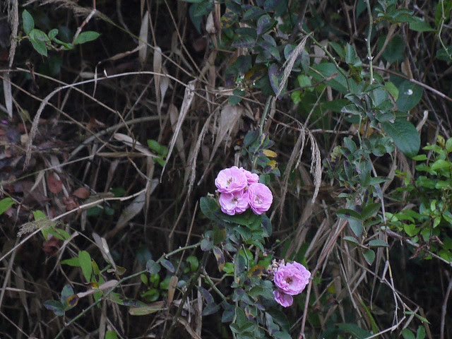 Rosa leschenaultiana