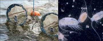 Copepod Collage