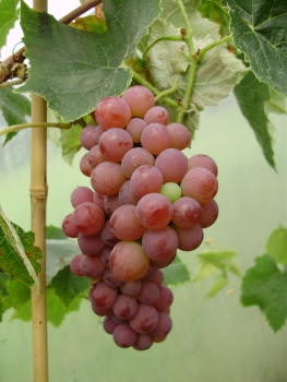 Seedless grape 'Rose Dream'