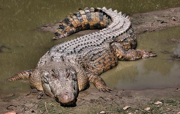 1352061497_krokodil_greb                              (600x379, 280Kb)