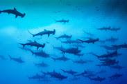 climate change on sharks