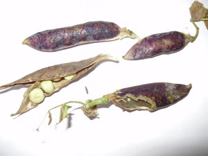 Mouse damage of precious Purple Podded peas - the joys of seed saving...