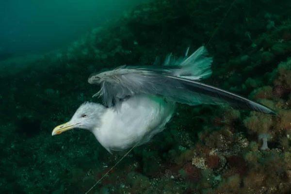 Una gaviota atrapada en un nylon en la costa de Noruega, fotografiada por Galice Hoarau