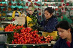 Explotación laboral y daños a la salud: la realidad tras las rosas colombianas que se regalan en San Valentín