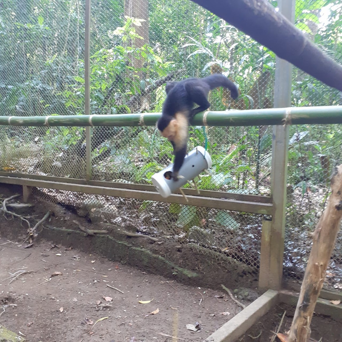 Capuchin stands on bamboo and manipulates hanging enrichment below her.