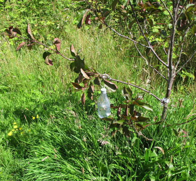 2. Branch on 'Tickled Pink' with water-filled plastic bottle attached. The angle can be adjusted by squeezing out water