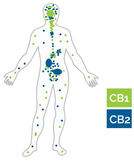 EndocannabinoidBody3