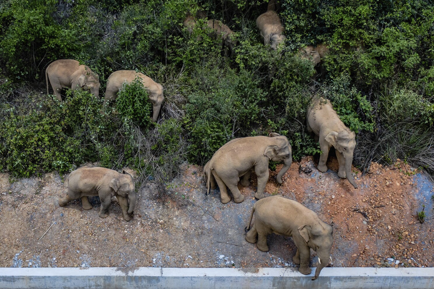 A herd of elephants in China