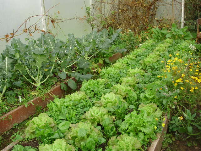 NW beds in east tunnel. Broccoli in side bed some main heads picked. Lettuce intercropped with spinach in main bed - 4.12.15