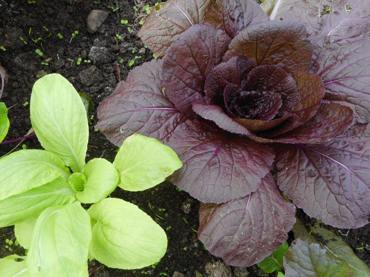 A young plant of Chinese Cabbage 'Scarlette' contrasts beautifully with lemon Pak Choi from Real Seeds 'Vibrant Joy' mix