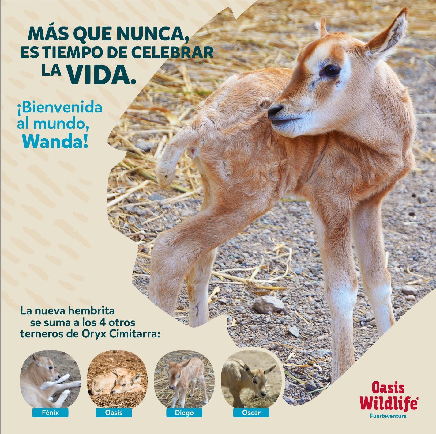 f7a40924 4f81 41a5 a75e 029e4c4f0288 - Oasis WildLife Fuerteventura anuncia nacimiento de 5 nuevas crías de Orix Cimitarra,especie extinta en la Naturaleza