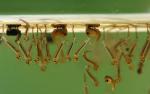 mosquito-larvae-resized-600-jpg