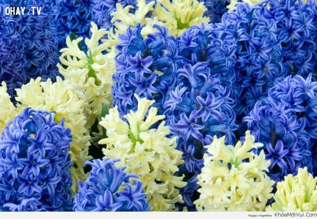 Hoa Dạ lan Hương - Sự vui chơi,hoa ngữ,ngôn ngữ các loài hoa,hoa quả,hoa đẹp
