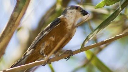 Los capuchinos son un grupo de aves endémicas de Sudamérica, de pequeño tamaño, que alcanzan ocho gramos de peso y habitan en los pastizales y humedales mesopotámicos
