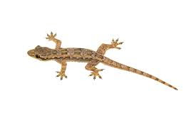 Image result for Lizard