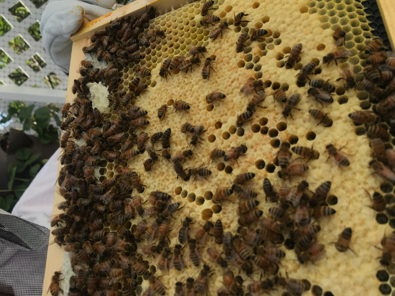 capped honey bee brood