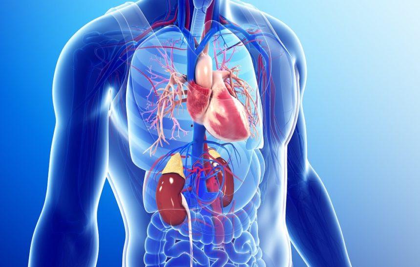cardiovascularsystemg6744138 1370142 860x546