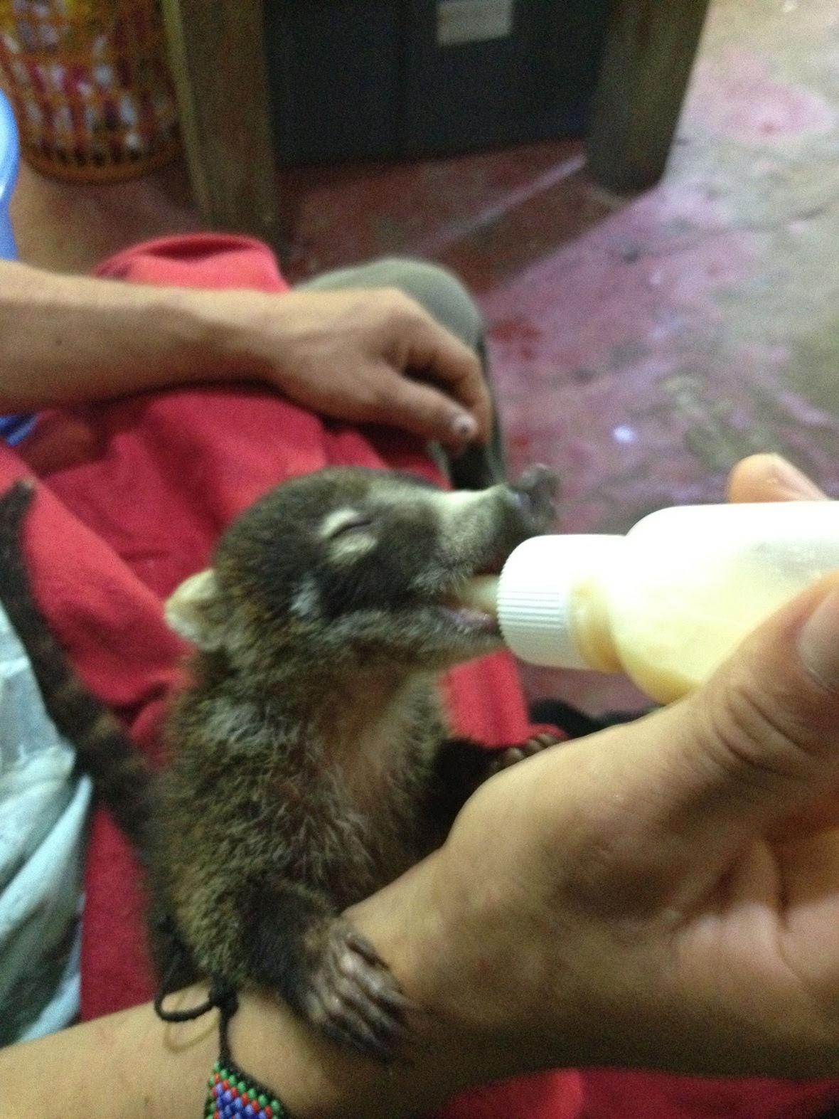 Baby Pizote (coati)