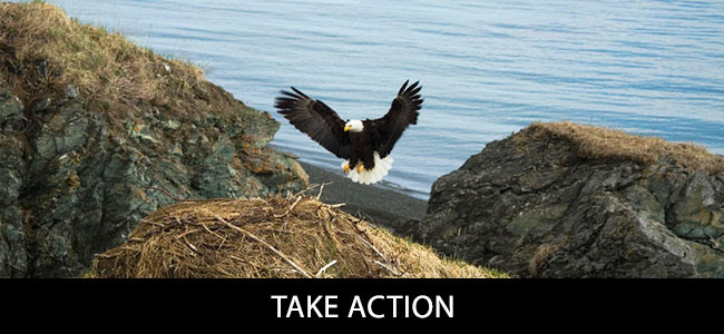 Bald eagle in Bristol Bay, Alaska