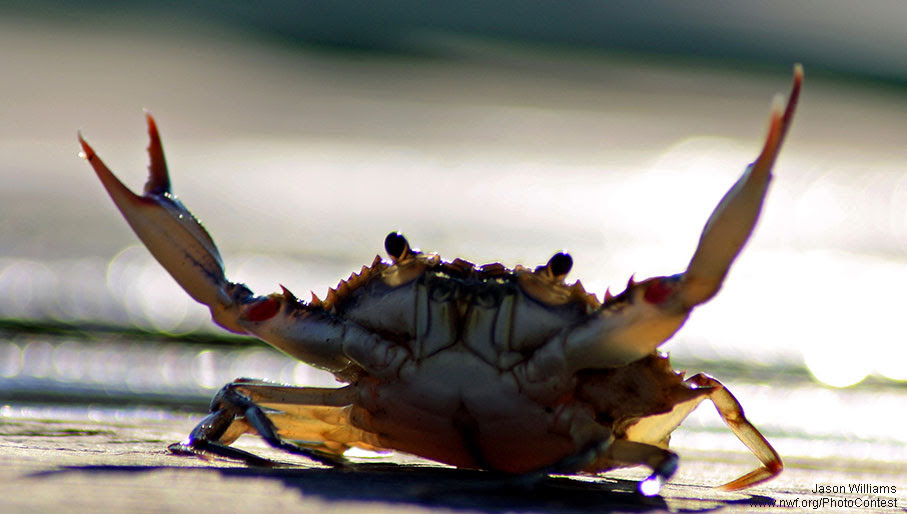 BlueCrab_PhotoContest.jpg