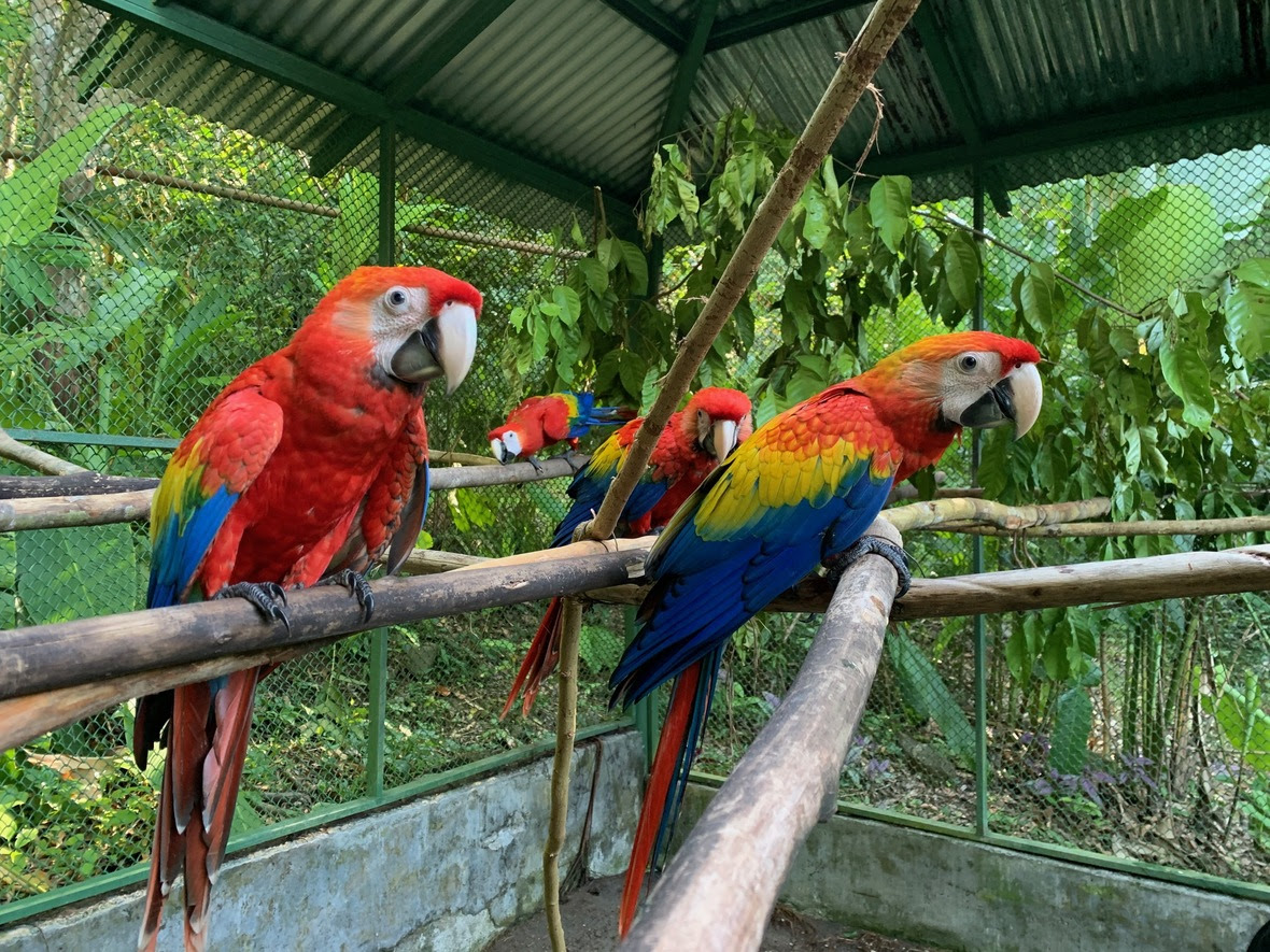 Four young macaws look to camera in a large flight enclosure