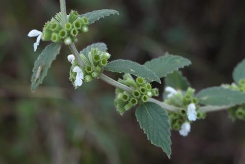 Leucas montana (Roth) Spreng.