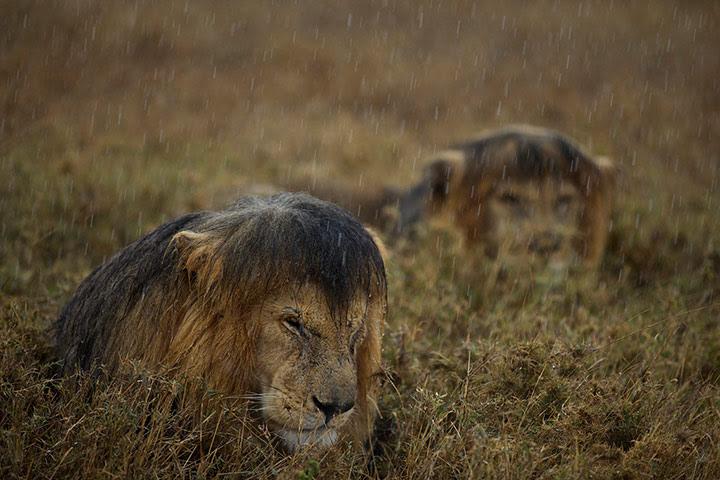 2013 WPY: Lions