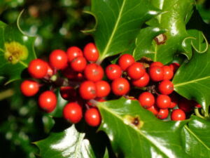 Holly Berries, Colin Smith (CC BY-SA 2.0)