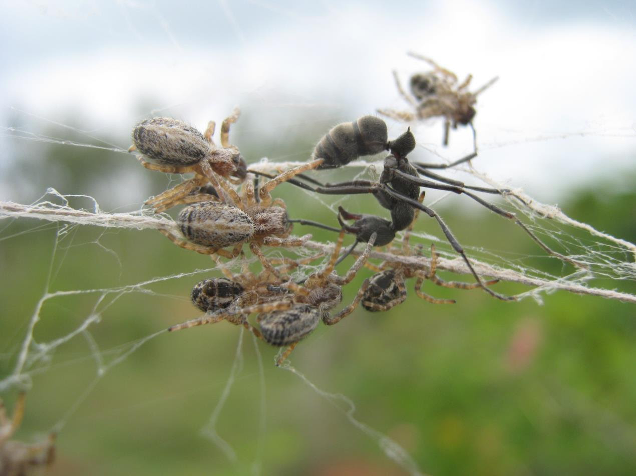 Social spiders catching prey cooperatively in India