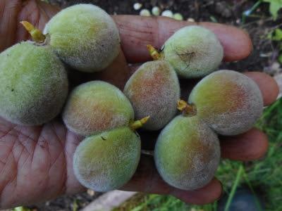 Twinned or conjoined peach fruitlets won't develop