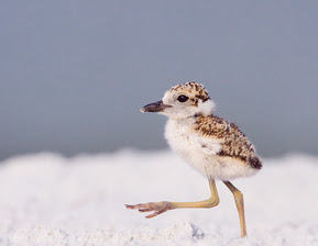 Wilson's Plover Chick