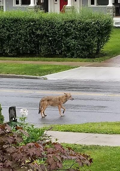 Coyote.jpg?1505405158