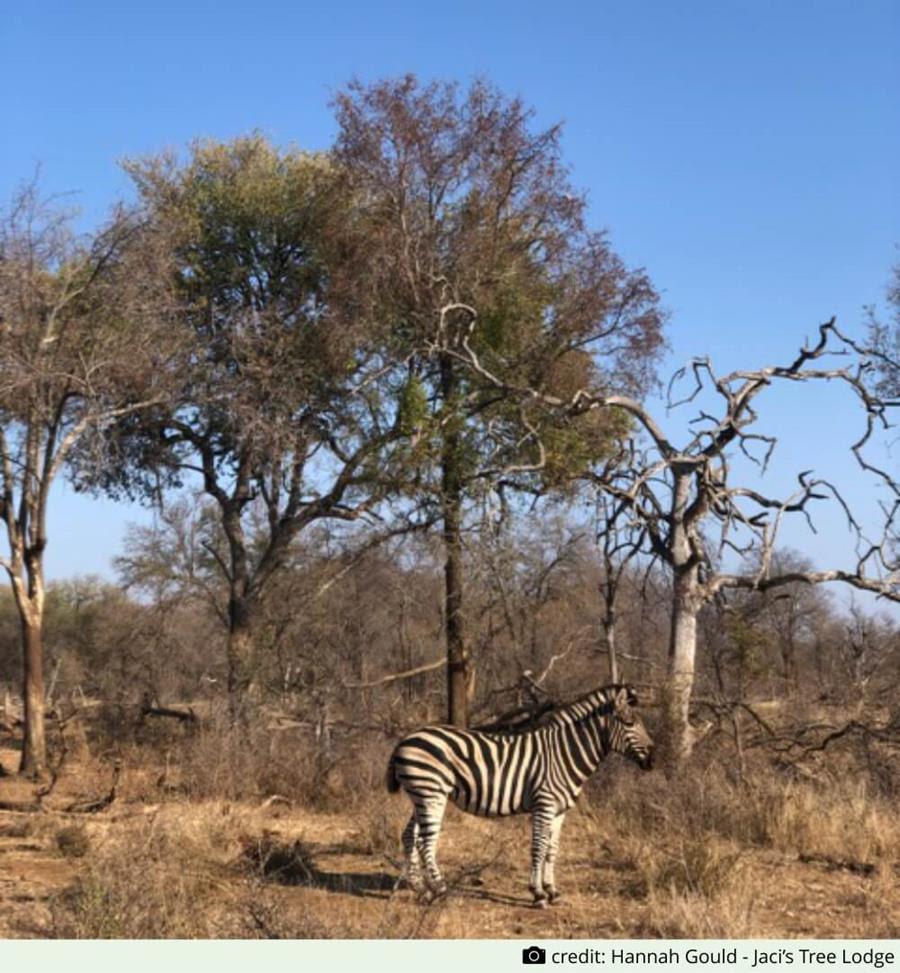 Zebra by Hannah Gould - Jaci's Tree Lodge